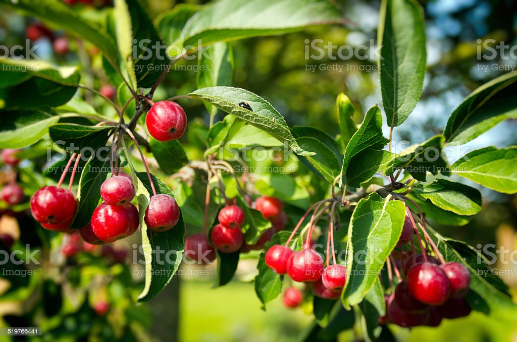 Ornamental cherries with a ladybird stock photo