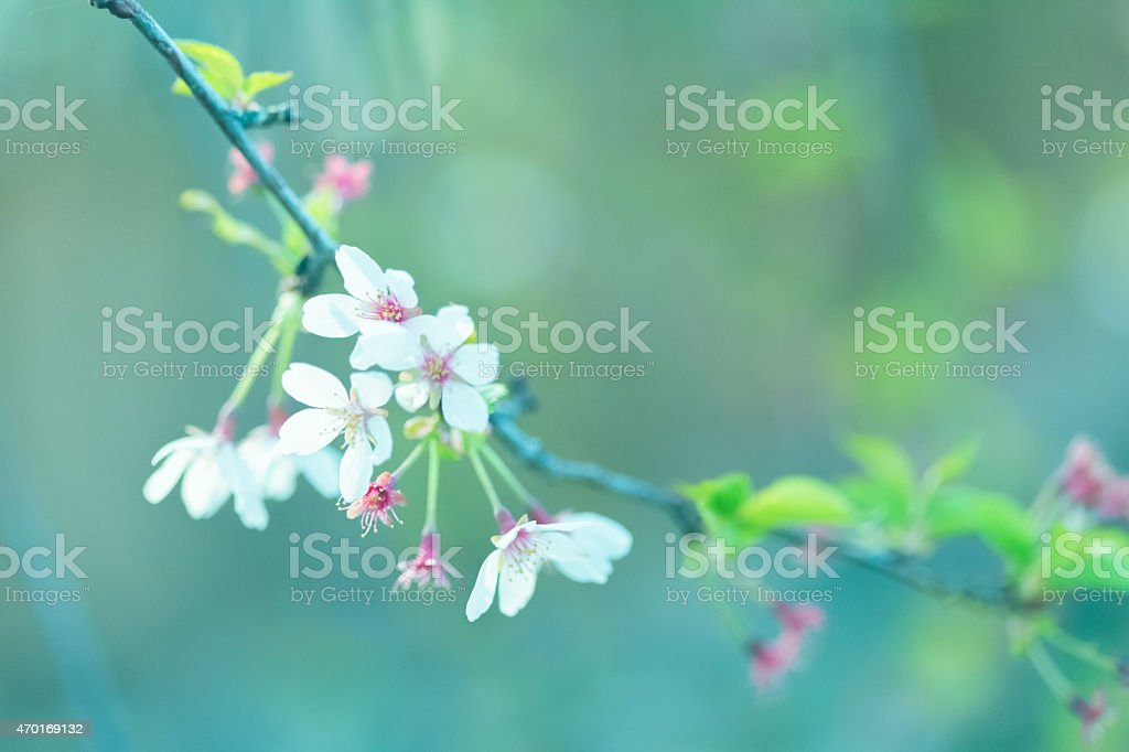 Ornamental cherry tree blossoms - Blue spring nature background stock photo