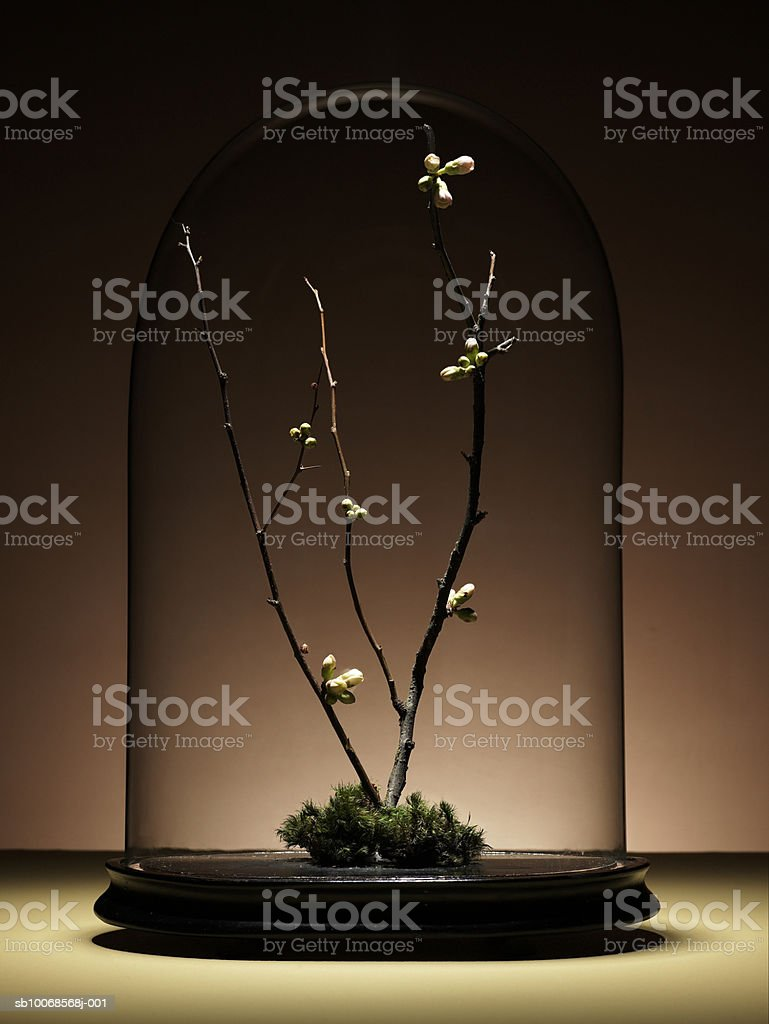 Ornamental cherry tree branches with buds under glass dome royalty-free stock photo