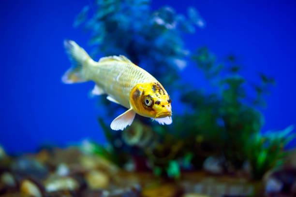 Ornamental fish, koi fish, stock photo