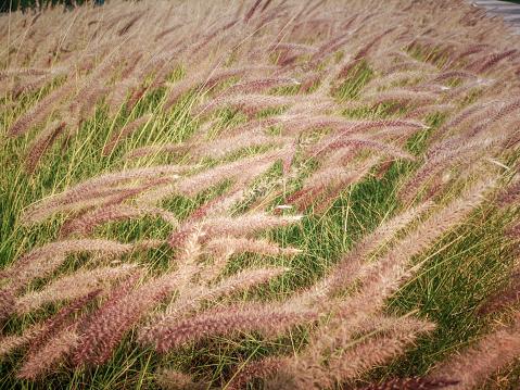 Ornamental grass background