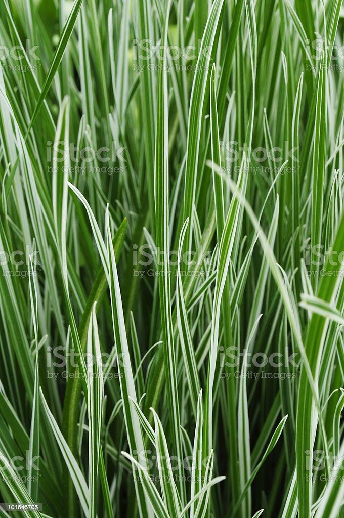 Ornamental Grass Carex stock photo
