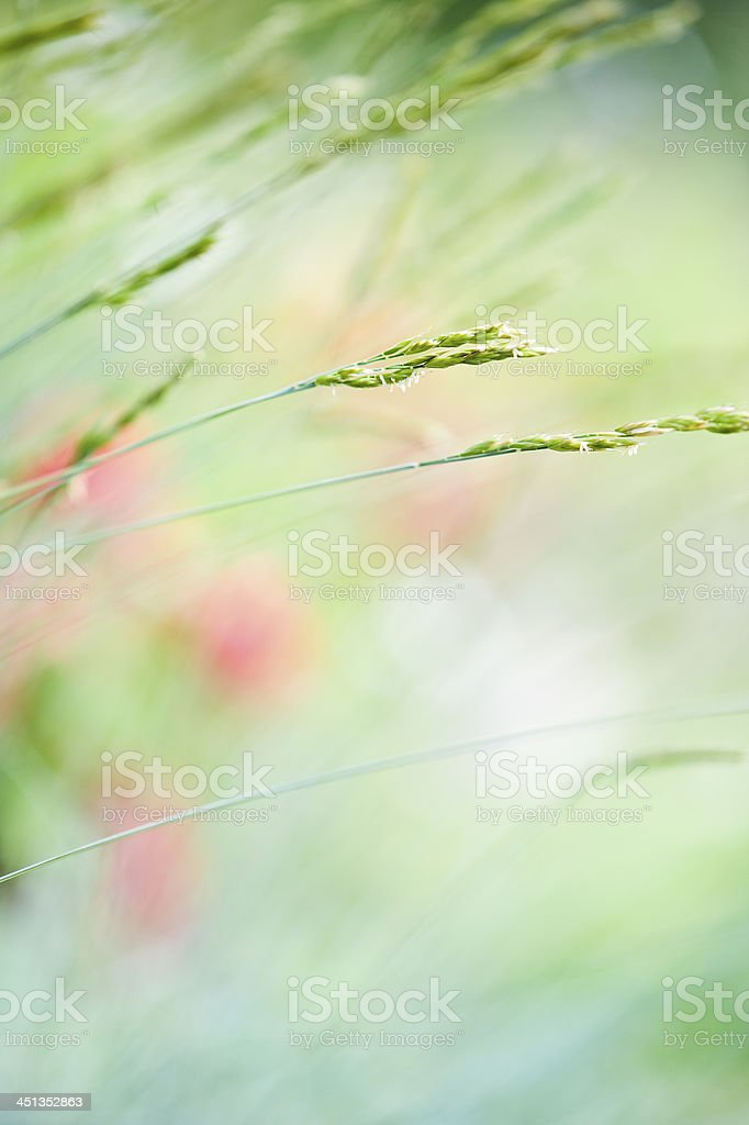 Ornamental grass stock photo