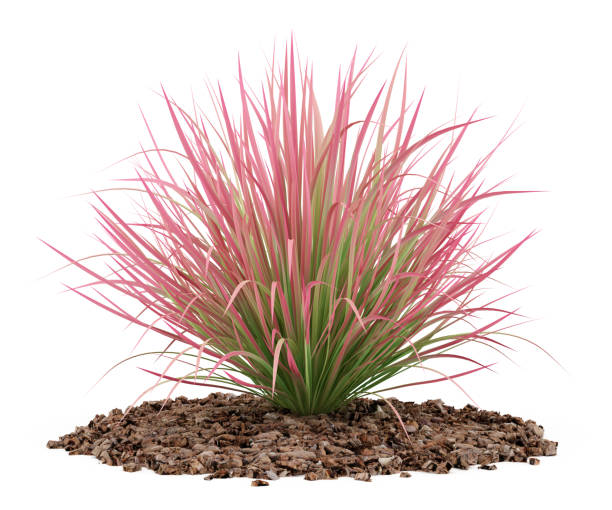 Royalty free ornamental grass pictures images and stock for White ornamental grass