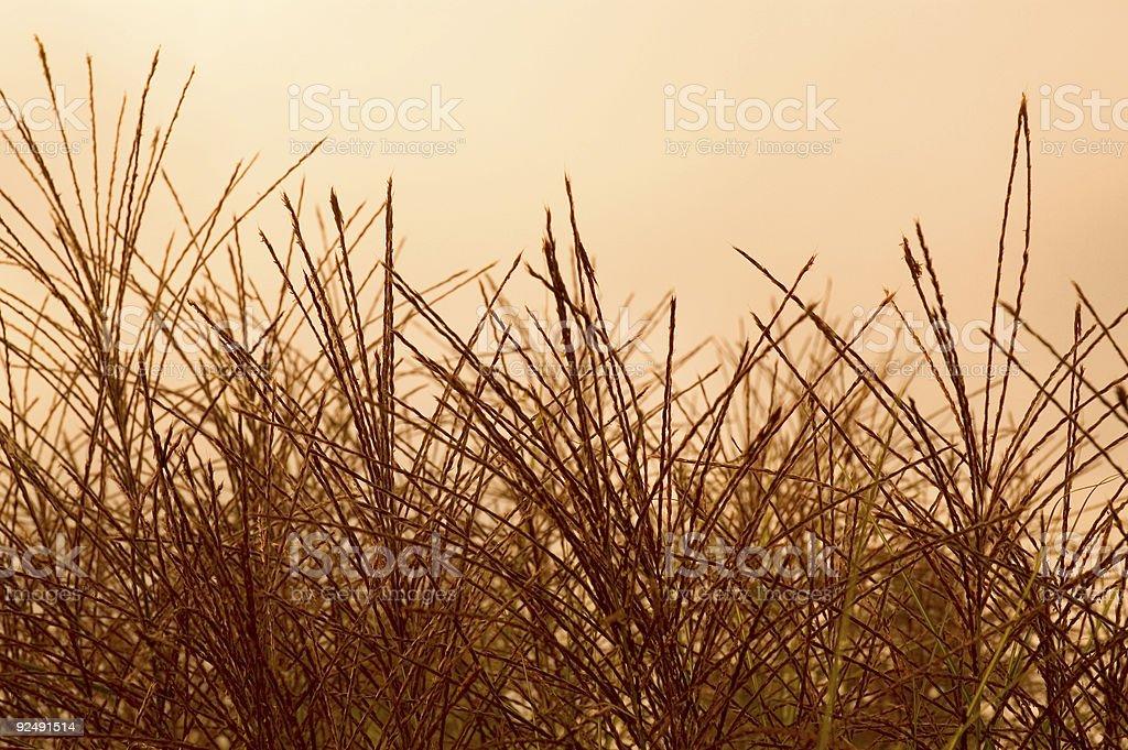 Ornamental Grass seeds royalty-free stock photo
