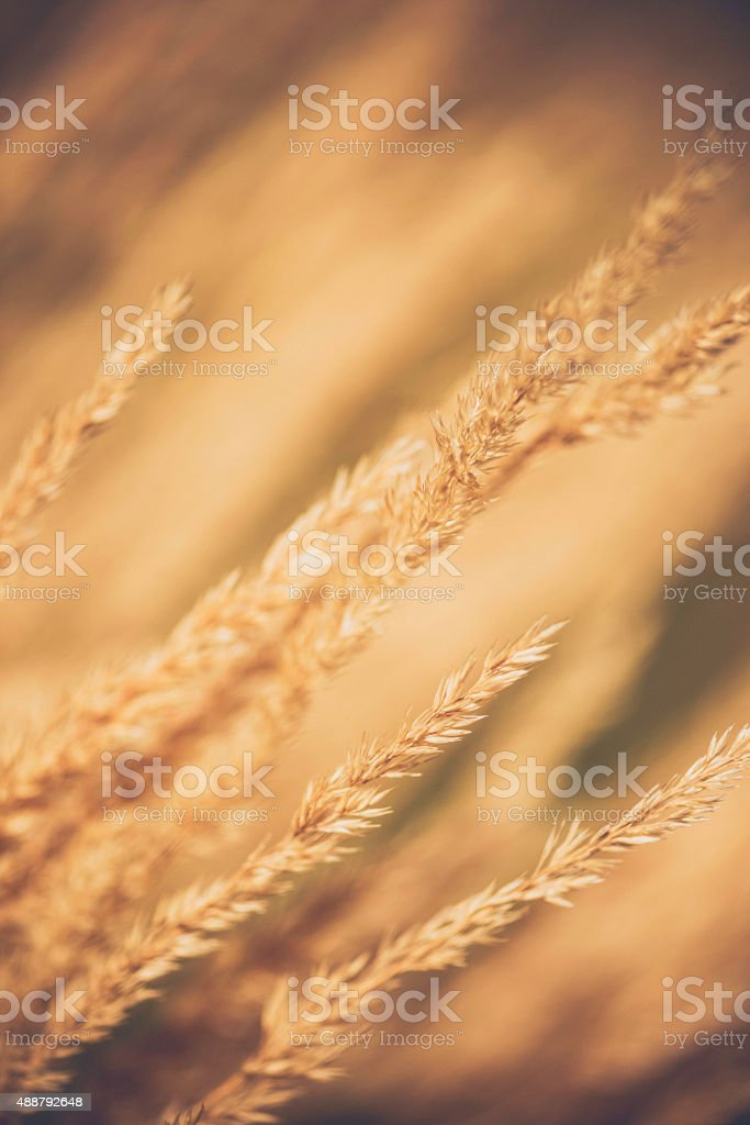 Ornamental grasses swaying in summer breeze stock photo