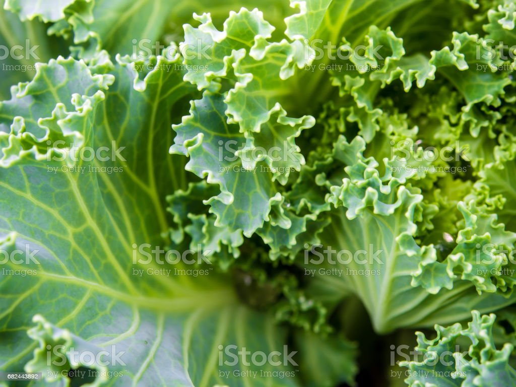 Ornamental Kale and cabbage royalty-free stock photo