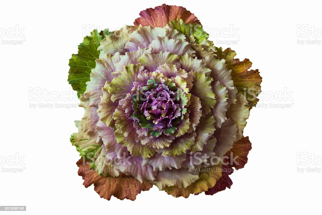 Ornamental kale cabbage isolated on white background stock photo