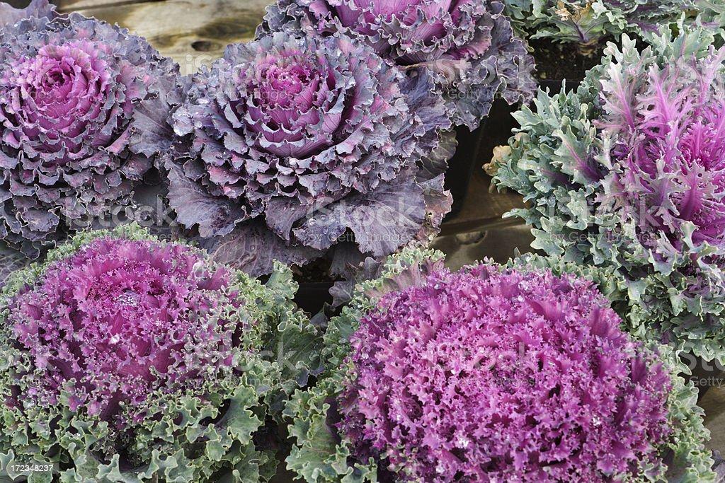 Ornamental Kale royalty-free stock photo