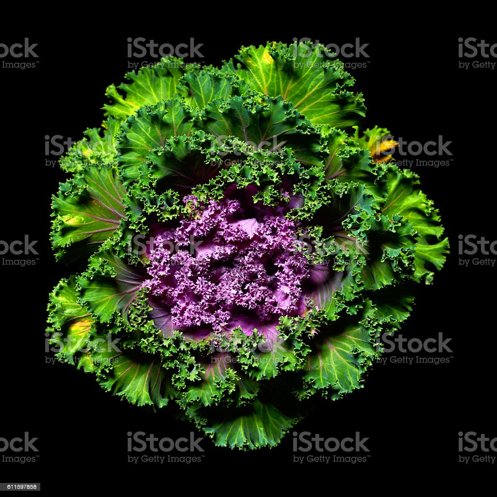 Ornamental kale stock photo