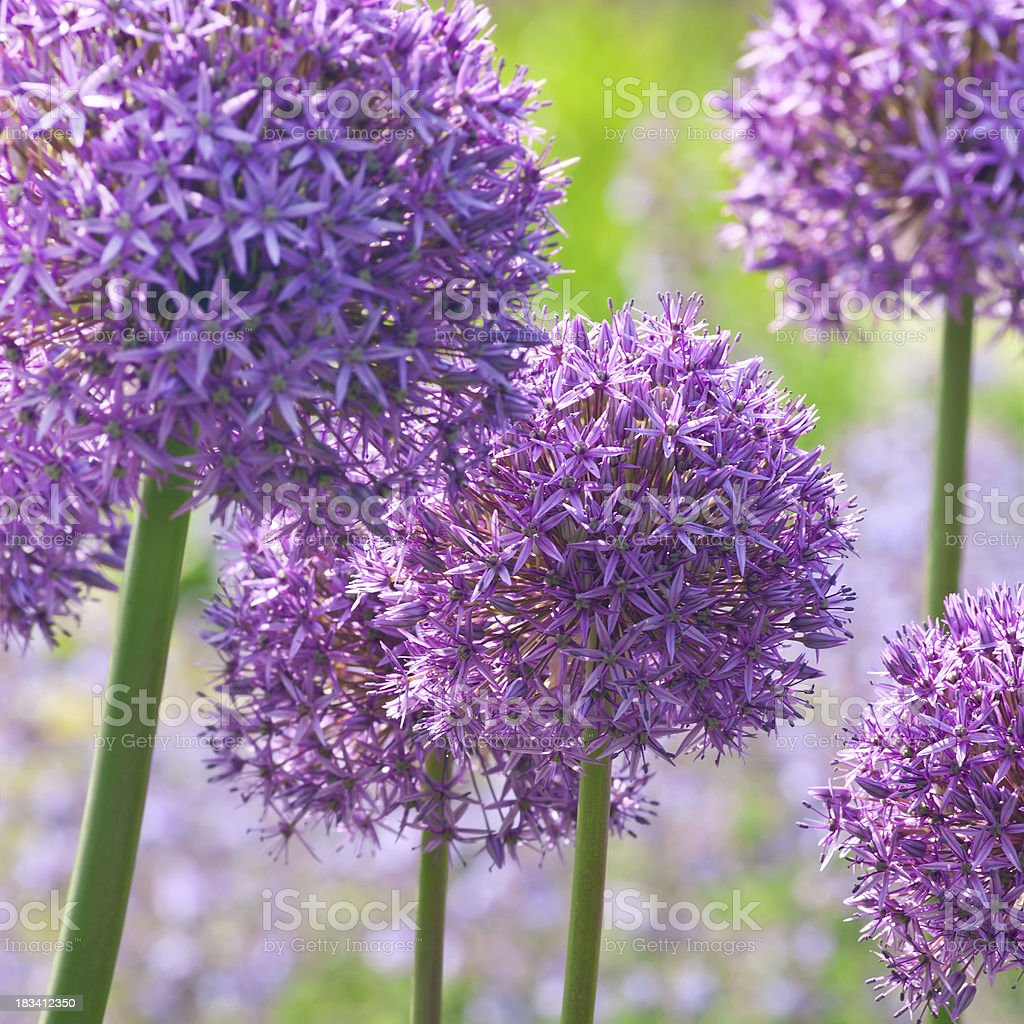 Ornamental onion (Allium) 'Gladiator' cultivar - V stock photo