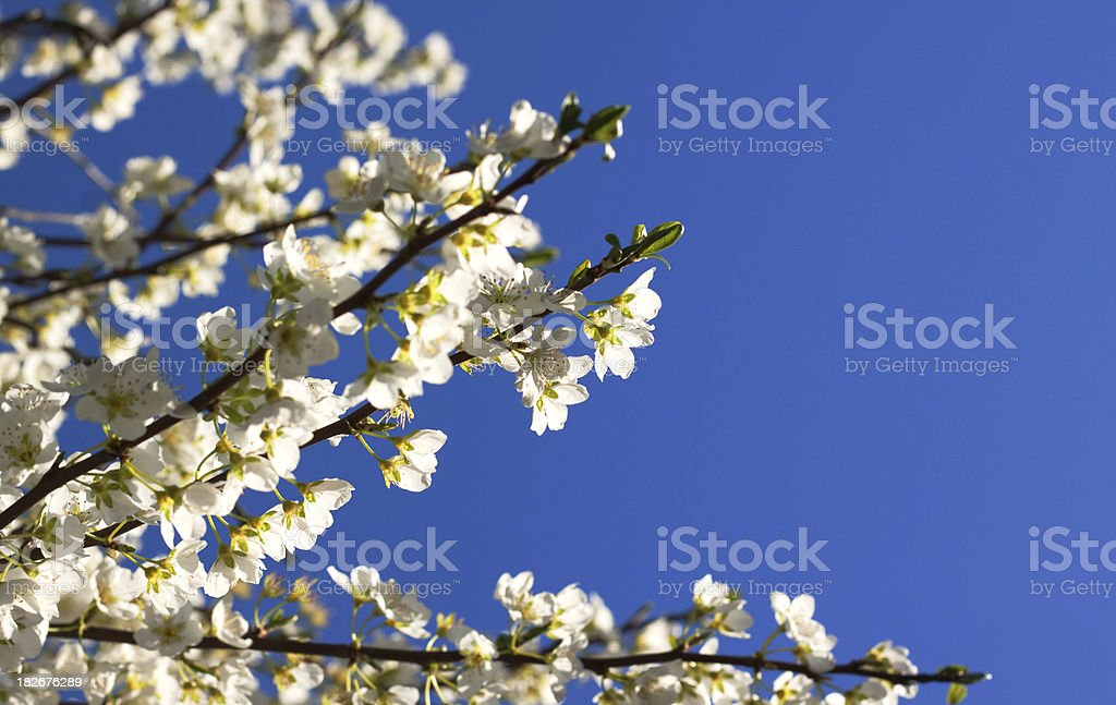 Ornamental Pear Tree Flowers and Clear Blue Sky stock photo