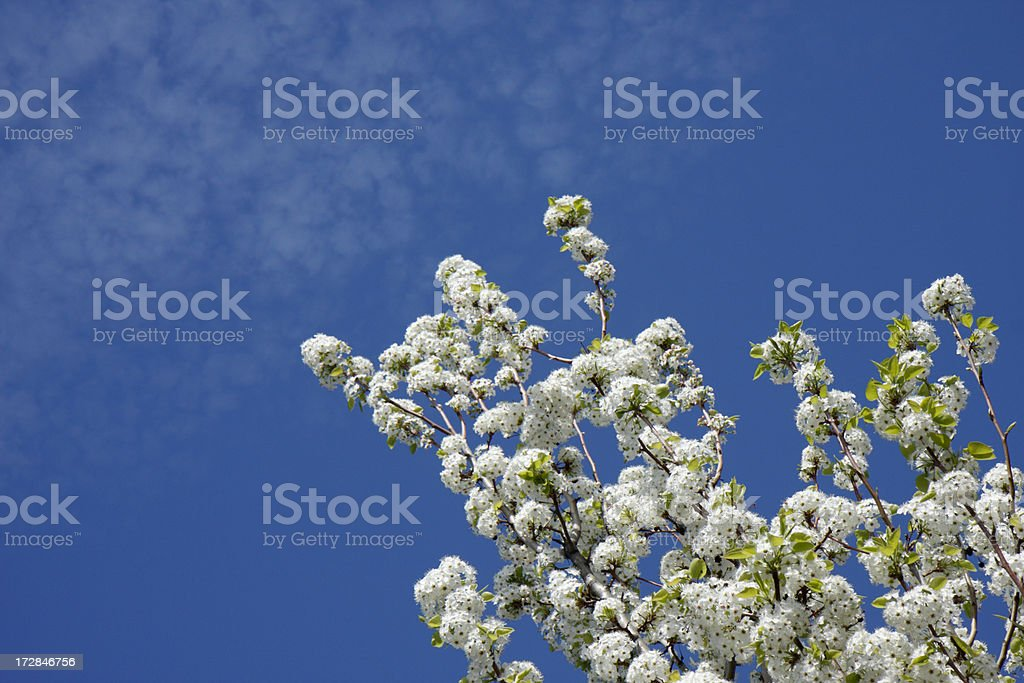 Ornamental Pear tree stock photo