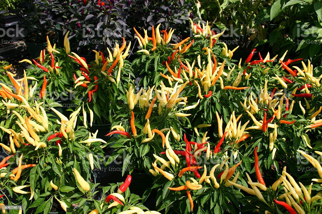 Ornamental Peppers royalty-free stock photo