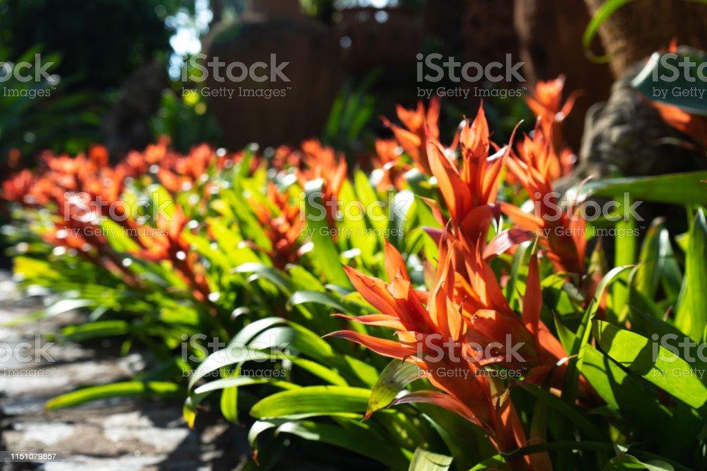 Ornamental pineapple garden at backyard, natural home decoration,...