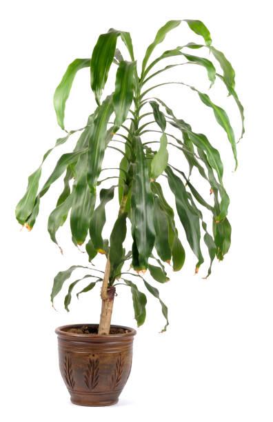 관상용 공장요 - 관상용 식물 뉴스 사진 이미지