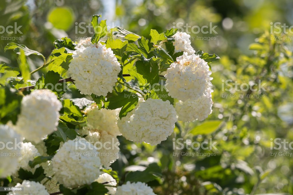 Ornamental plant snowball viburnum white flowers stock photo more ornamental plant snowball viburnum white flowers royalty free stock photo mightylinksfo