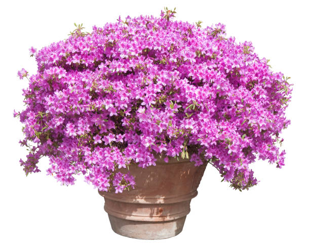 ornamental plant with pink petunia flowers on a large traditional italian terracotta vase - springtime concept image on white background for easy selection - angiospermas imagens e fotografias de stock