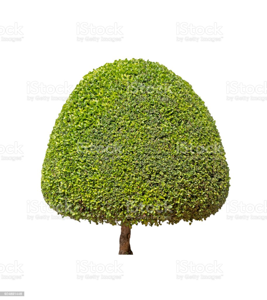 Ornamental plants Green Tree isolated at on white background of file with Clipping Path stock photo