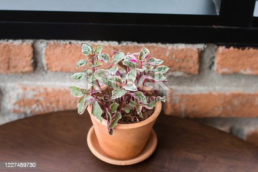 1090975842 istock photo Ornamental plants, small trees with green and red leaves In a small pot Made of red clay Resting on a brown wooden table For decorating a coffee shop The background is an old red brick wall. 1227489730
