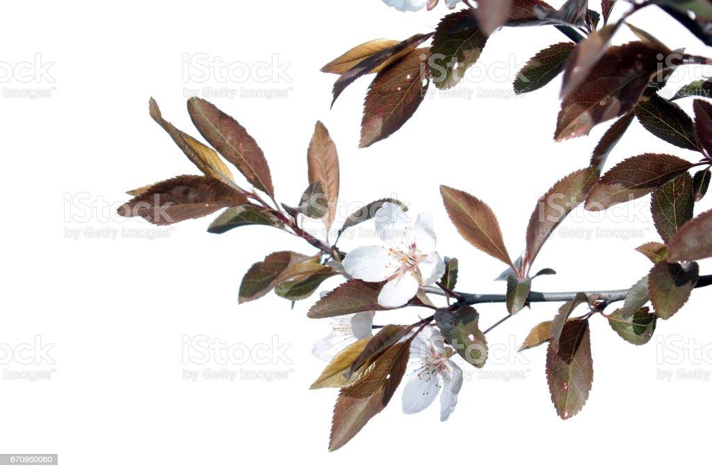 Ramo de ameixa ornamentais com flores isoladas no fundo branco - foto de acervo