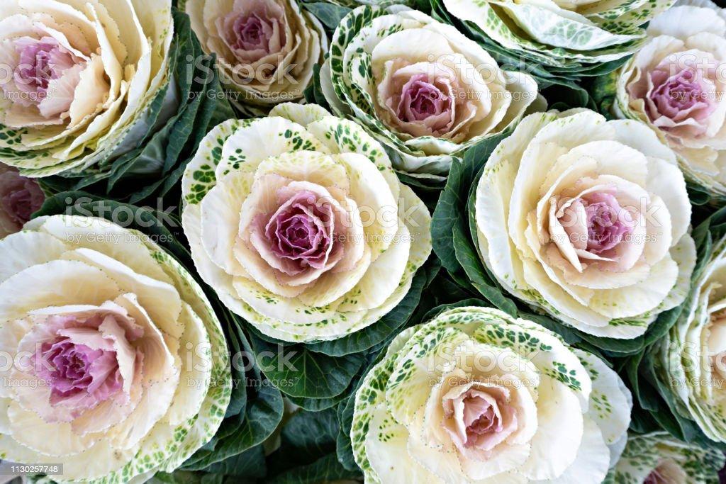 Ornamental purple cabbage. Natural background stock photo