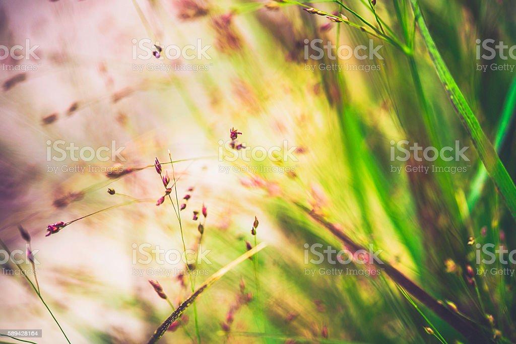 Ornamental switchgrass plants against warm sunlight. Panicum virgatum Shenandoah stock photo