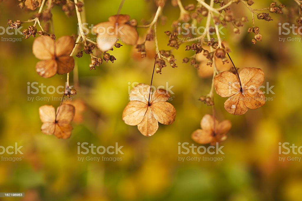 Ornate dried hydrangea on blurred background in autumn. royalty-free stock photo