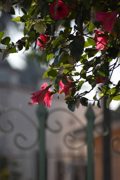 ornate fence with pink flowers in foreground - steven harrie stock photos and pictures