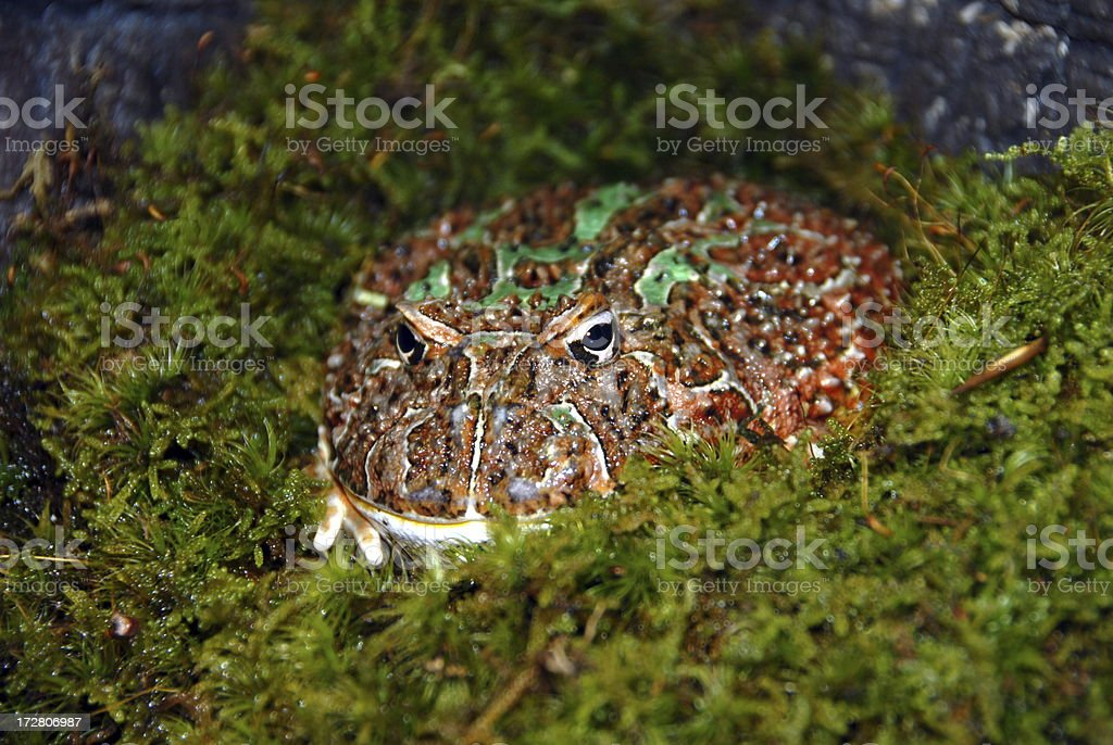 Ornate Horned Toad stock photo