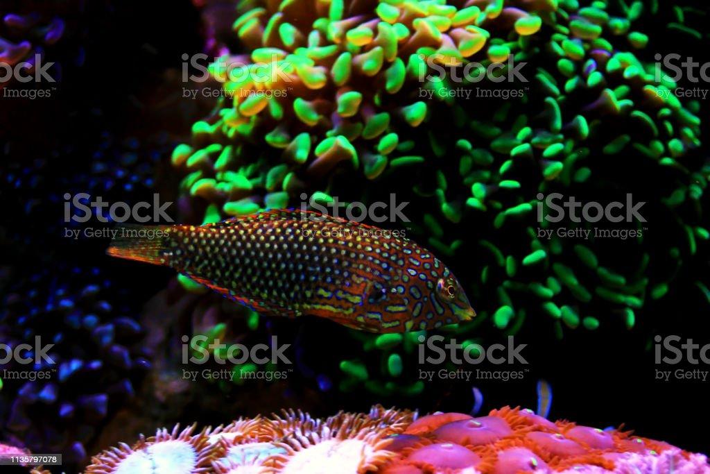 Ornate Leopard Wrasse Fish In Coral Reef Aquarium Tank Stock