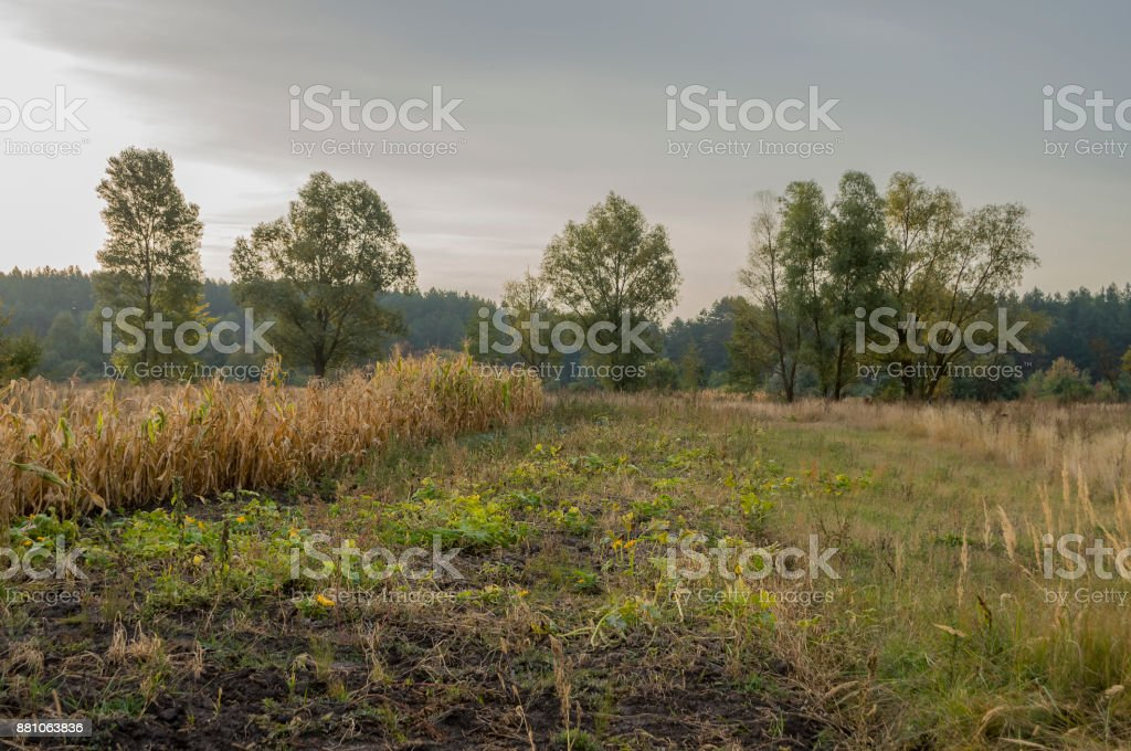 Сornfield in the early autumn. Dry plants around. Green trees far away. Morning stock photo
