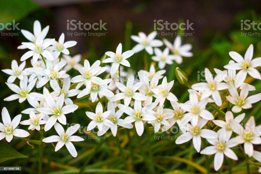 Ornithogalum flowers closeup (Star of Bethlehem) stock photo