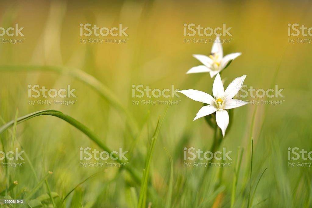 Ornithogalum stock photo