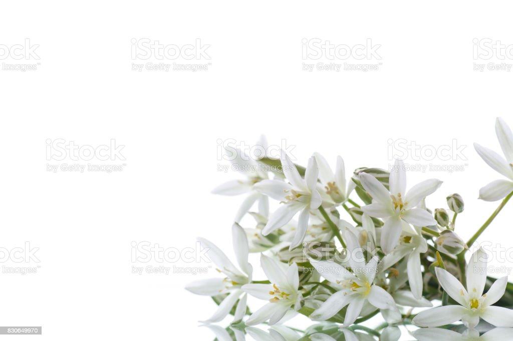 Ornithogalum umbellatum .Beautiful white flowers. stock photo