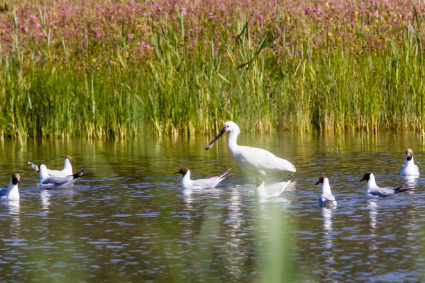 Ornithological Park of Marquenterre, in the Bay of Somme animals somme stock pictures, royalty-free photos & images