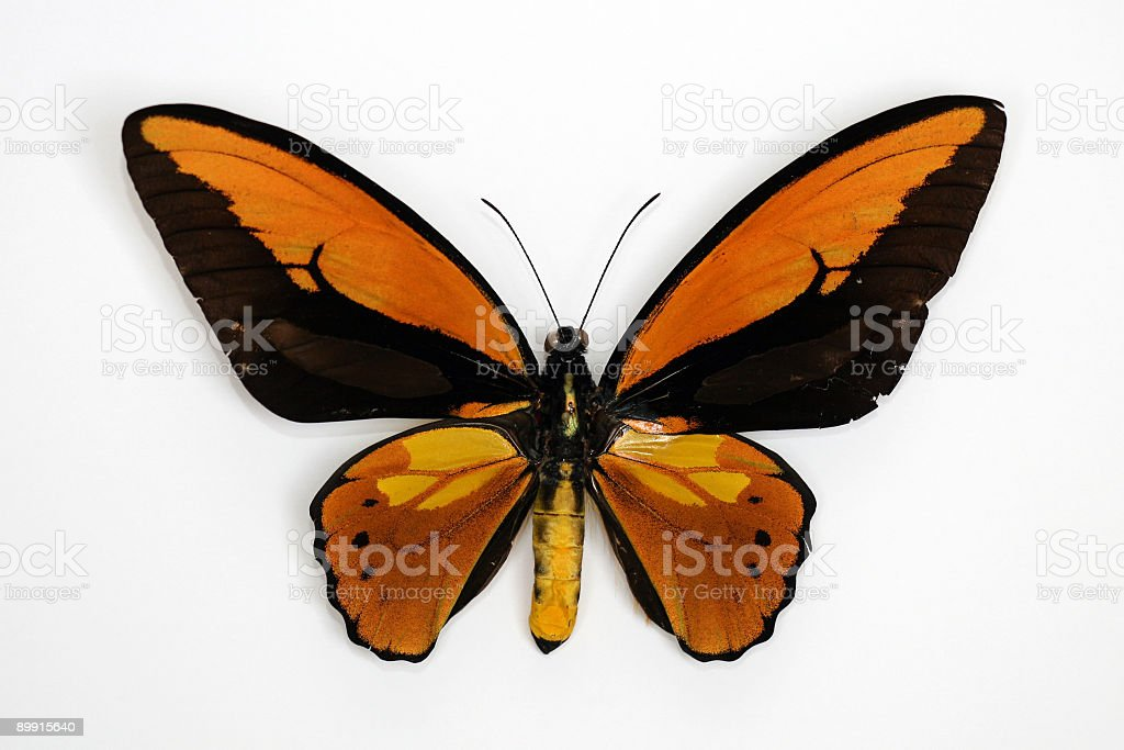 Ornithoptera croesus toeantei isolated on white background royalty-free stock photo