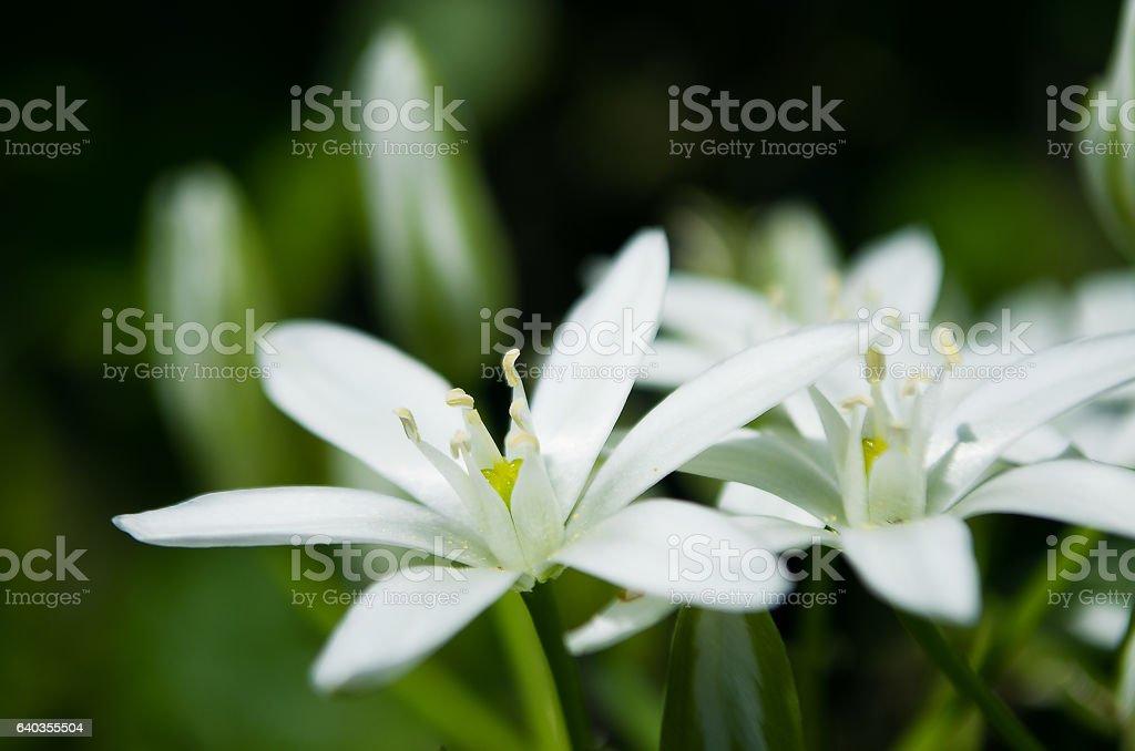 Ornitohalum small white spring flower stock photo
