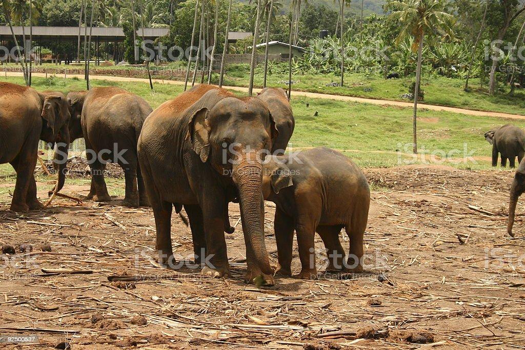 Orphan Elephants royalty-free stock photo