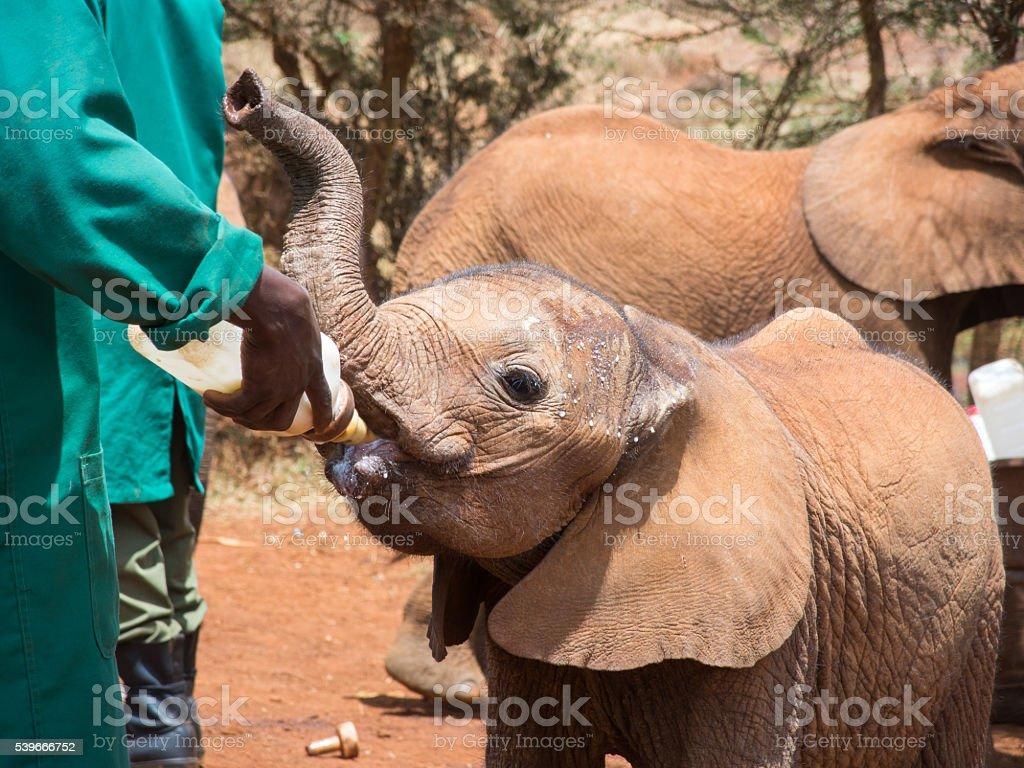 Orphaned Elephant Being Hand-Fed stock photo