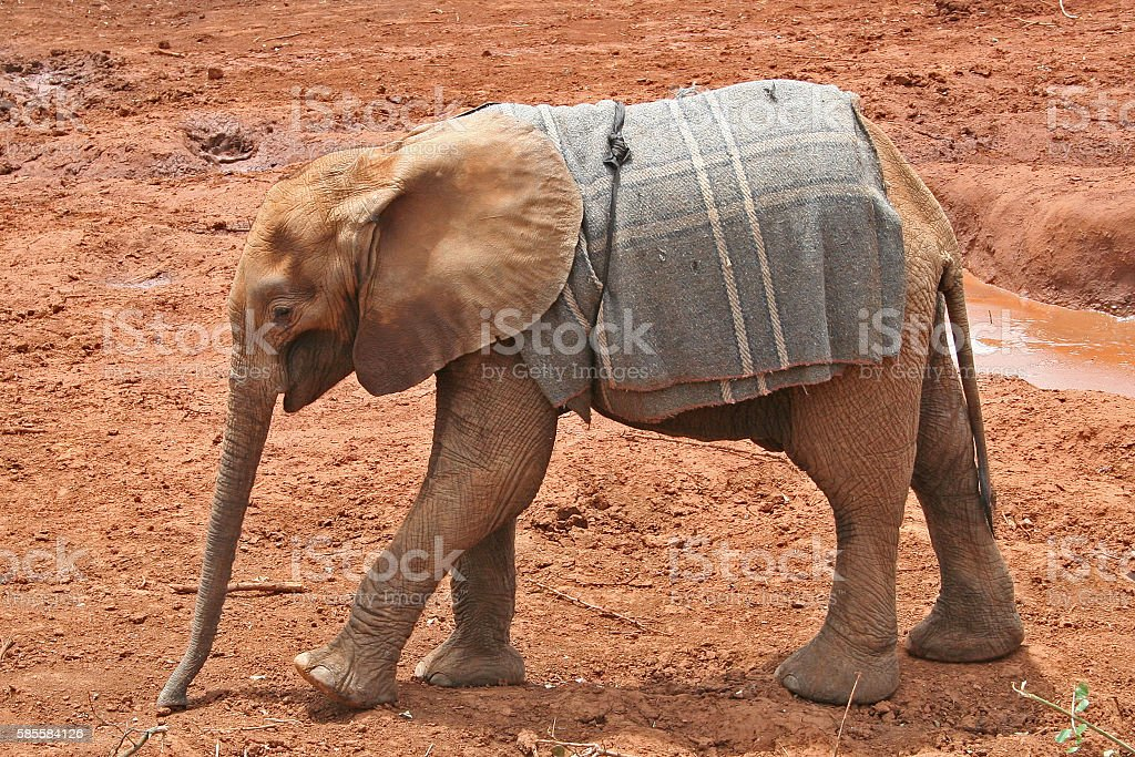 Orphaned Elephant Calf stock photo