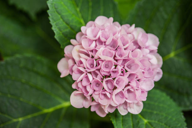 Ortensia Pink Flower stock photo