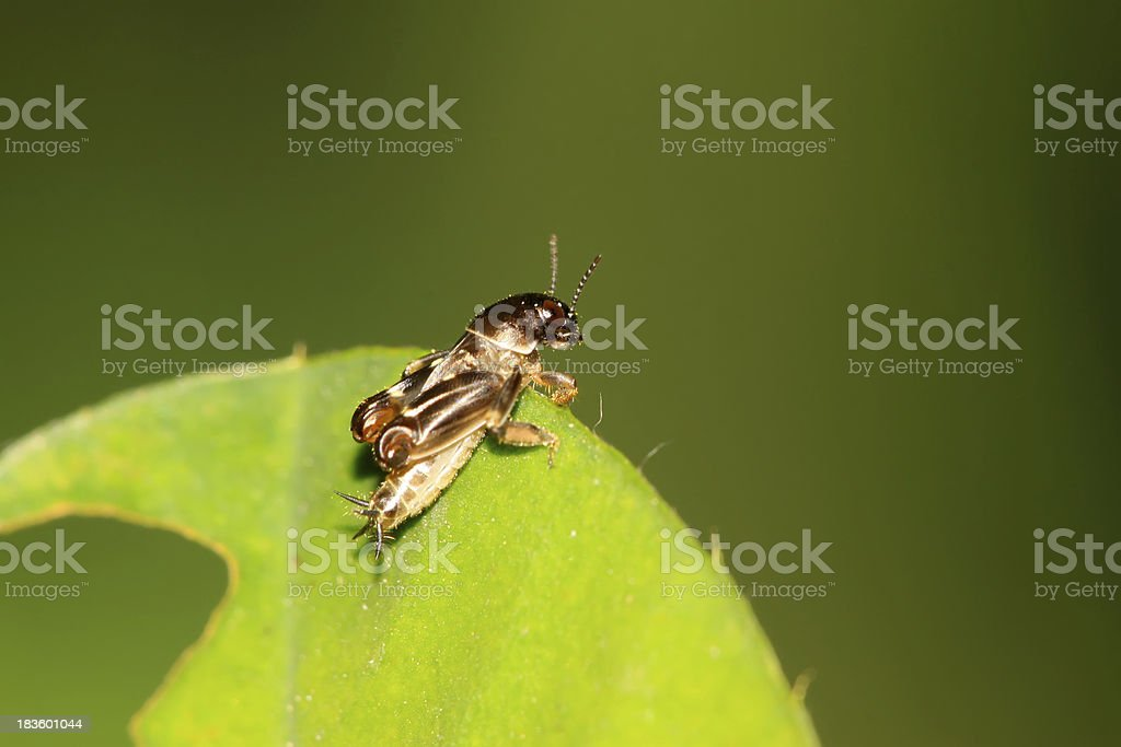 orthoptera insects royalty-free stock photo