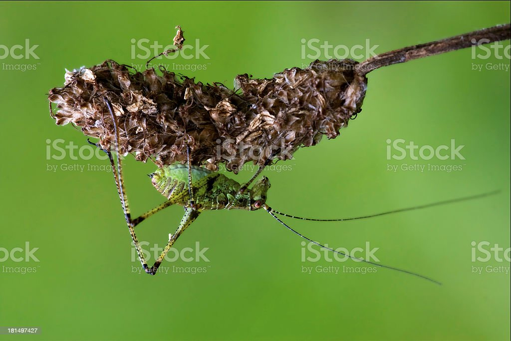 Orthopterous  on a piece of branc bush flower royalty-free stock photo