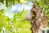 istock orthotomus bird in nest on tree branch 1170867854