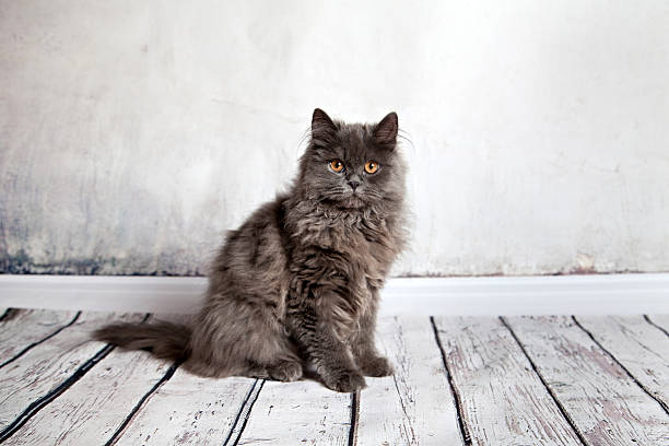 Ortrait of longhair persian cat picture id625058356?b=1&k=6&m=625058356&s=612x612&w=0&h=zf6fq7z djv6ly if9yjrmrnngszaiv61cbmw drgf8=