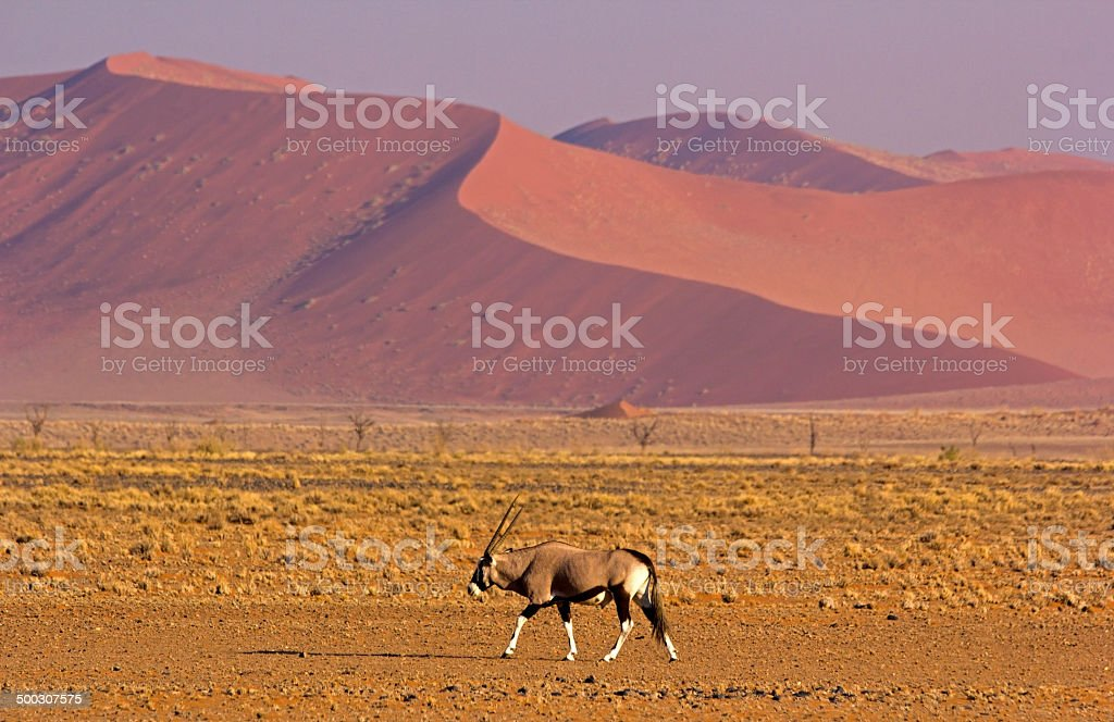 Oryx against dunes stock photo