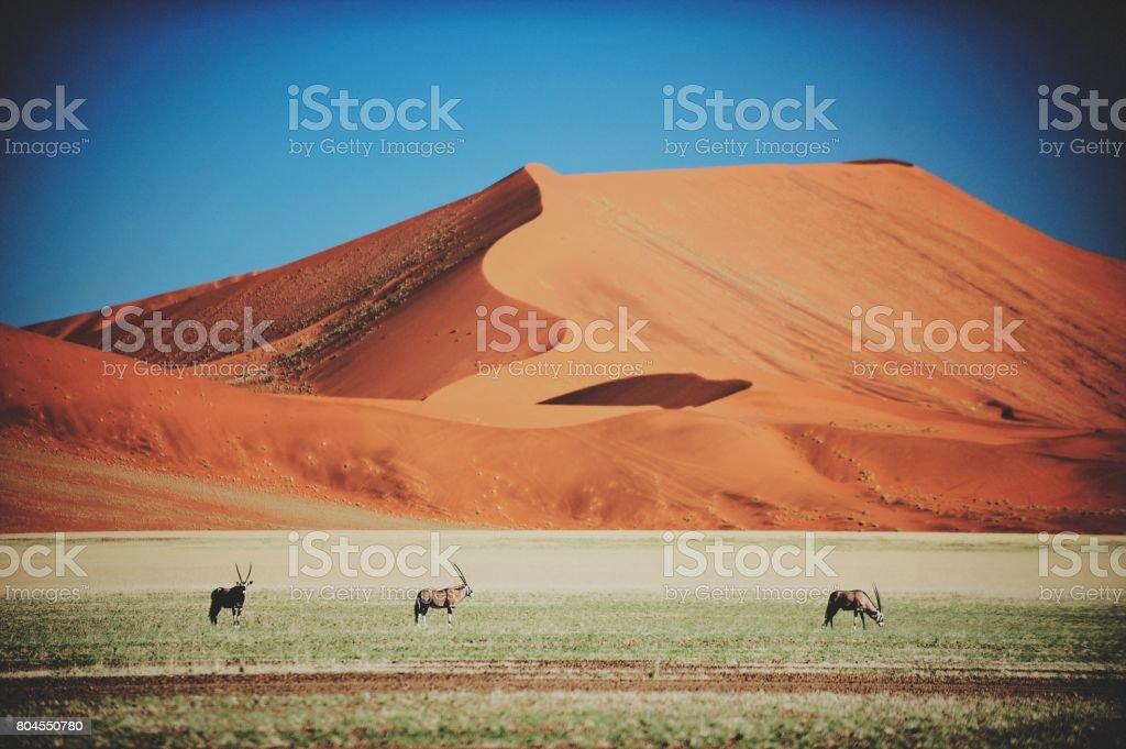 Oryx and Sand dune stock photo