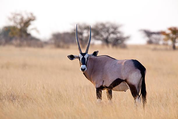 Oryx antelope, Etosha National Park, Namibia stock photo
