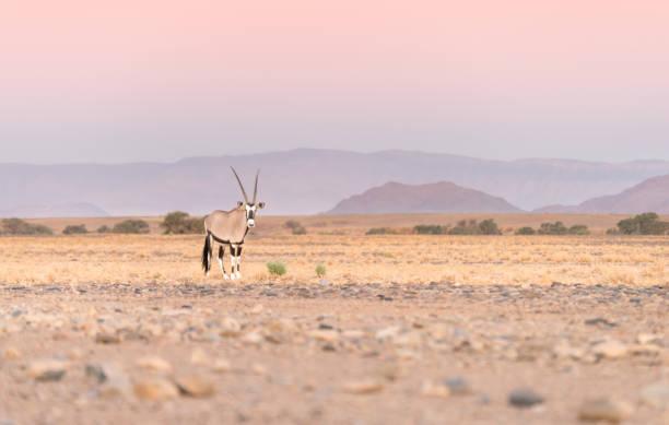 Oryx (Gemsbok) Antilope zu Fuß durch die trockene raue Namibia Wüste in der Dämmerung. – Foto